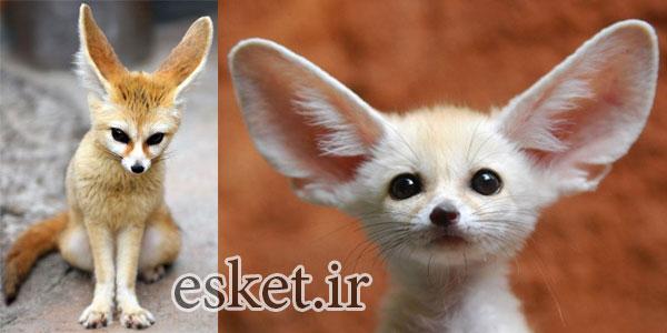 بانمک ترین حیوانات جهان - روباه فنک