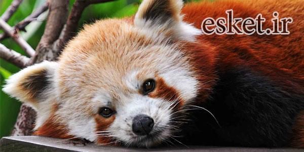 پاندای قرمز - بانمک ترین حیوانات جهان