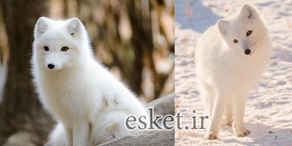 بانمک ترین حیوانات جهان - روباه های قطب شمال