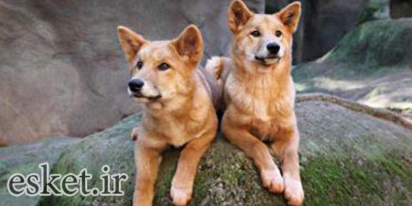 بانمک ترین حیوانات جهان - دینگو